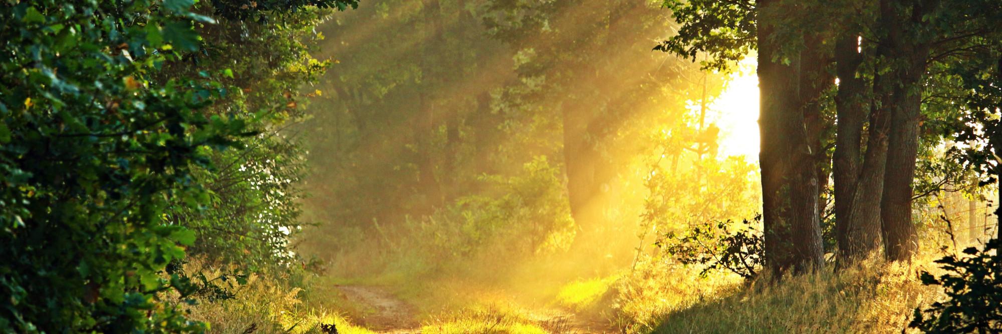Sonnenstrahlen fallen auf einen Waldweg, gesäumt von alten Laubbäumen.