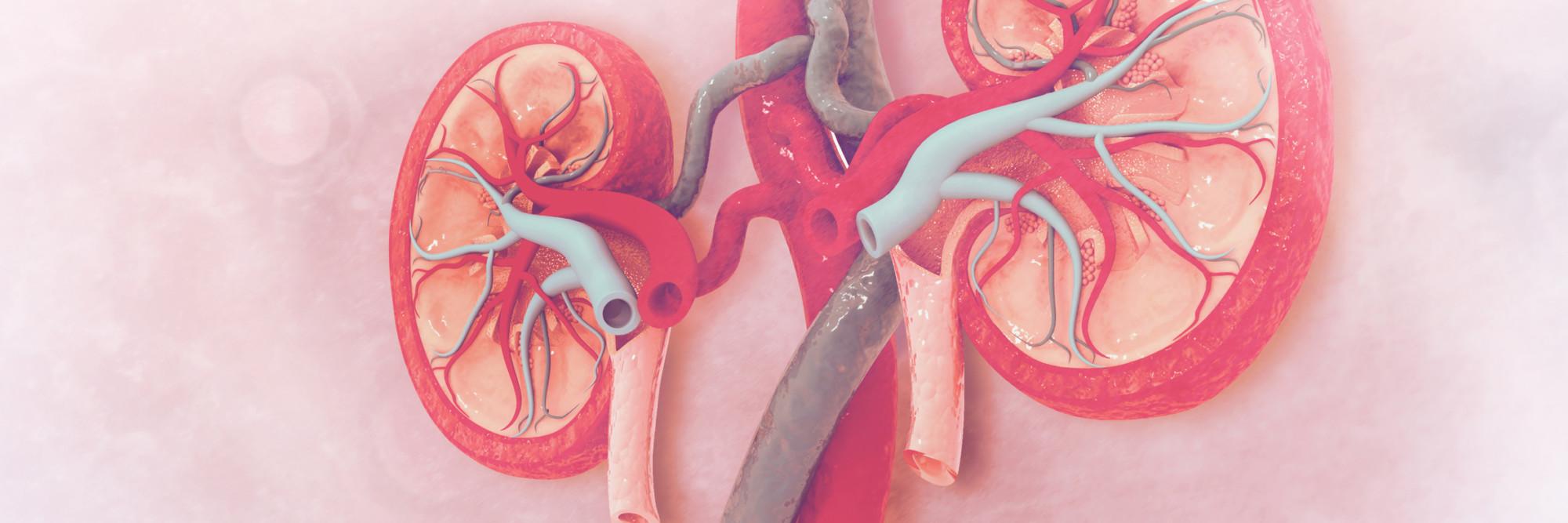 Medizinische Illustration einer Niere mit Blutgefäßen.