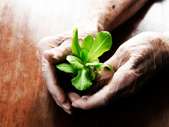 Die Hände einer alten Frau umschließen eine junge Grünpflanze.